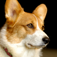 Welsh Corgis – Small Dog Series Icon