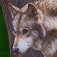 Wolves: Facts & Fables Icon