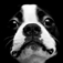 Bostons – Boston Terrier Fun Icon