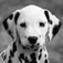 Dalmations – Fire Dog Fun Icon