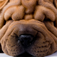 Shar Peis – Chinese Wrinkle Dogs Icon
