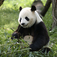 Giant Panda Slide Puzzle Icon