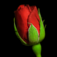 Rose Gift Icon