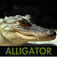 Alligator Sounds Icon